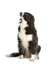 bi-color Border collie dog looking up