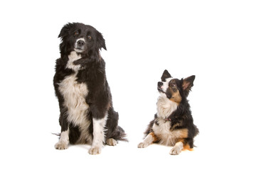 two border collie dogs isolated on white