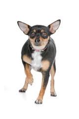 front view of a chihuahua dog