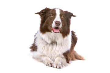 front view of a brown/white border collie