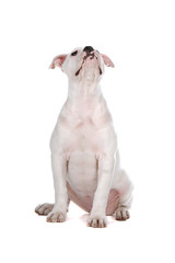 front view of an American bulldog puppy looking up