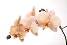 "Постер, картина, фотообои ""Isolated orchid flowers on white"""