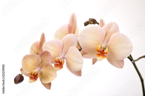 Isolated orchid flowers on white - 22259000