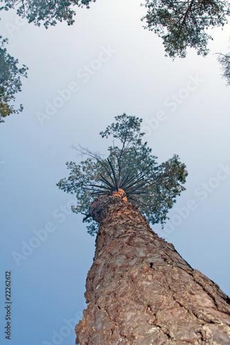 Deurstickers Aan het plafond pine tree trunk