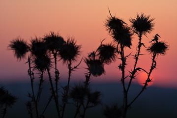 Silhuette grass at sunset
