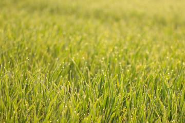 Rasen mit Tautropfen