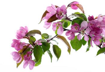 Frühlingsblüte rosa