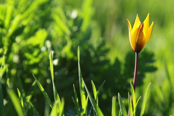 Yellow tulip in green grass