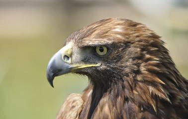 Perfil de águila real.