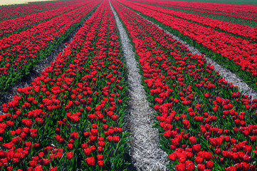 Filed of red tulips