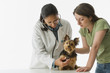African female veterinarian examining Yorkshire Terrier puppy