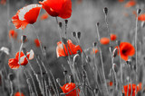 Fototapety red poppies on  field