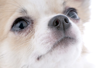 nice looking chihuahua portrait close-up