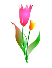 tulips on white illustration