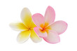 Two frangipani flowers isolated on white