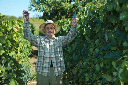 Senior vintner working in vinery