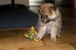 Hund, Spitz,Mittelspitz_Welpe