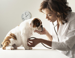 Mixed Race female veterinarian examining puppy