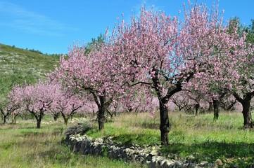 Mandelblütenbaumgruppe