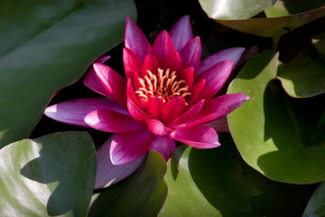 Black Princess waterlily