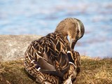 Female mallard duck cleansing the feathers poster