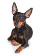 Pinscher puppy on white background