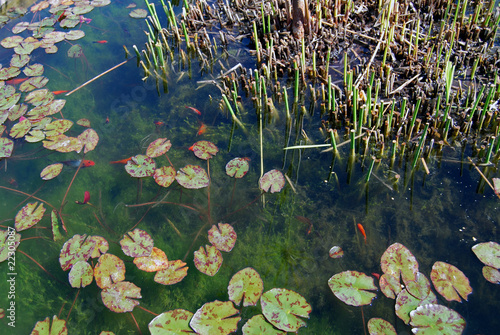 Detail of a pond with goldfishes and Nymphaea alba