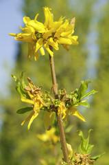Forsitia (Forsythia intermedia)