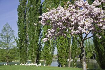 "Cerezo ornamental (Prunus serrulata ""kanzan"")"