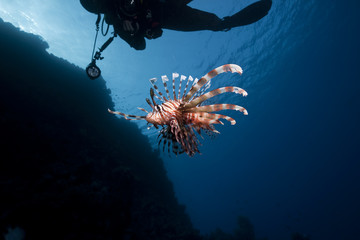 lionfish and an underwater photographer