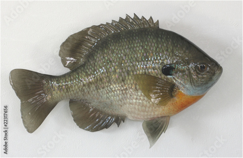Bluegill Reproduction