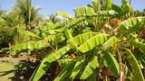 Nicaragua banana trees  house Corn Island Central America poster