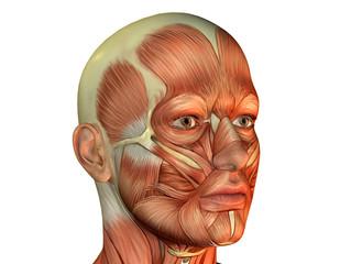 Muskelaufbau Kopf Mann