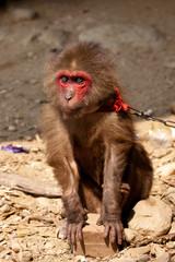 Affe an der Kette - Tierquälerei