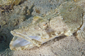 Crocodile fish on the seabed with it's mouth open