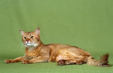 chat somali étendu sur fond vert