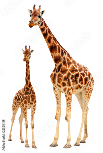 Papiers peints Girafe Two giraffes - isolated