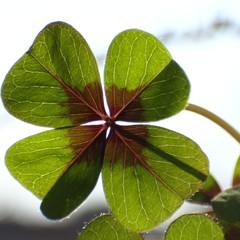 cloverleafs  -  trifolium