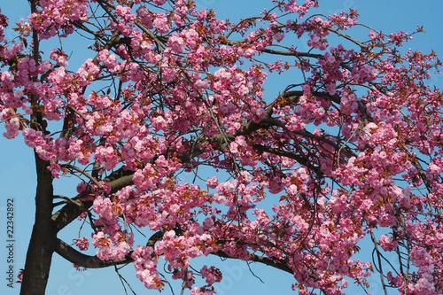 Papiers peints Cerises Blütenkirsche