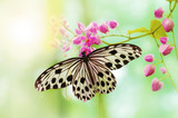 Fototapety Rice Paper Butterfly