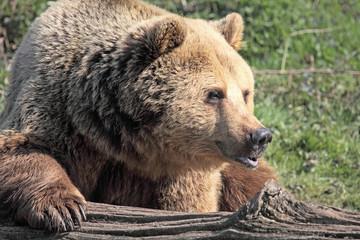 Brown Bear Pouting