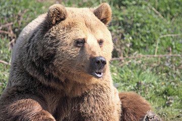 Brown Bear Pouting