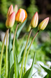 Tulips bending towards the sun