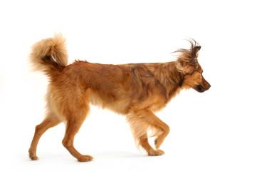 Running foxy dog.