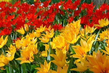 Natural backgrounds: red and yellow tulips