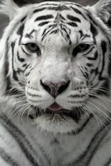 White tigress, close-up portrait © Sergey Skleznev
