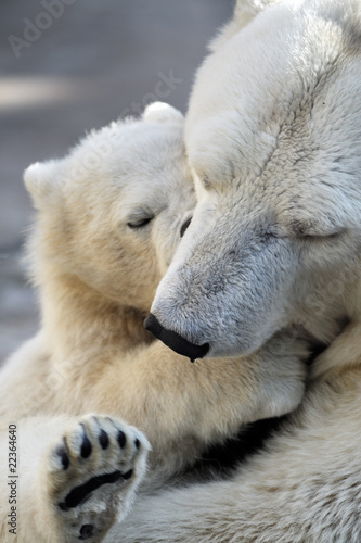 Fotobehang Ijsbeer Little polar bear cub playing with his mom