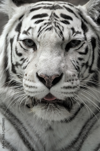White tigress, close-up portrait