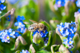 Blue forget-me-not with bee