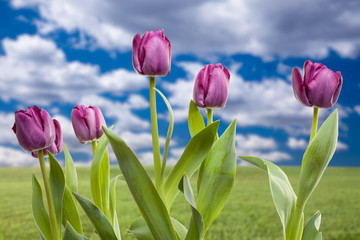 Purple Tulips Over Grass Field and Sky